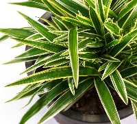 Warneck Dracaena Purifying Plant