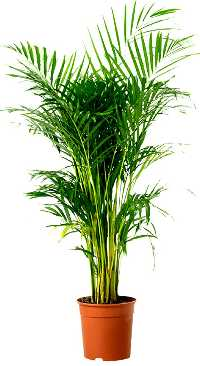 Air Purifying Areca Palm Indoor Plant