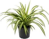 Air Purifying Indoor Spider Plant