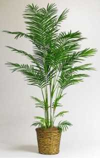 Bamboo Palm -  Air Purifying Plant for Home