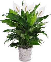 Peace Lily -  Air Purifying House Plant