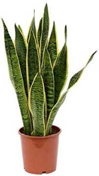 Snake Plant for Indoor Air Purification