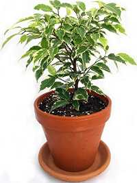 Air Purification Plants for Home - Weeping Fig