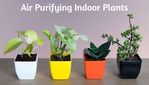 Best Air Purifying Indoor Plants India